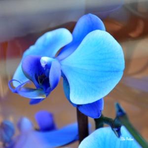 """Orchidée bleu"""